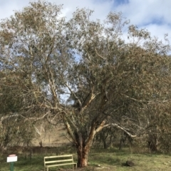 Eucalyptus pauciflora (A Snow Gum) at Burra, NSW - 14 Jun 2021 by Tapirlord