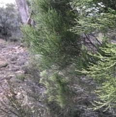 Callitris endlicheri (Black Cypress Pine) at Burra, NSW - 14 Jun 2021 by Tapirlord