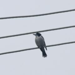 Cracticus torquatus (Grey Butcherbird) at Kaleen, ACT - 23 Jun 2021 by Rixon