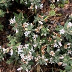 Leucopogon fraseri (Leucopogon fraseri) at Corrowong, NSW - 26 Jun 2021 by BlackFlat