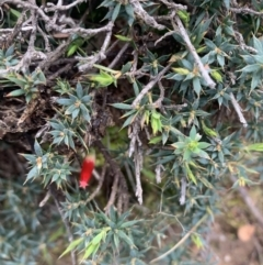 Astroloma humifusum (Cranberry Heath) at Corrowong, NSW - 26 Jun 2021 by BlackFlat