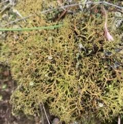 Cladia aggregata (A lichen) at Corrowong, NSW - 26 Jun 2021 by BlackFlat