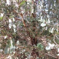 Eucalyptus globulus subsp. bicostata (Southern Blue Gum, Eurabbie) at Holt, ACT - 26 Jun 2021 by sangio7