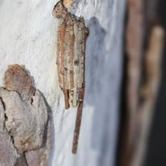 Clania ignobilis (Faggot Case Moth) at Higgins, ACT - 27 Jun 2021 by AlisonMilton