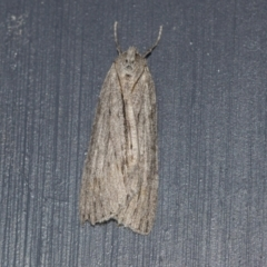Chlenias banksiaria group (A Geometer moth) at Higgins, ACT - 26 Jun 2021 by AlisonMilton