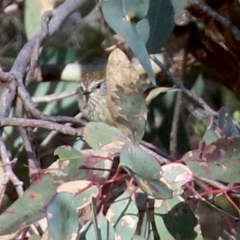 Acanthiza lineata (Striated Thornbill) at Conder, ACT - 27 Jun 2021 by RodDeb