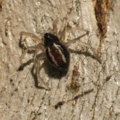 Euryopis umbilicata (Striped tick spider) at Googong, NSW - 27 Jun 2021 by WHall