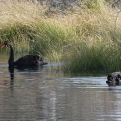 Cygnus atratus (Black Swan) at Googong, NSW - 28 Jun 2021 by Wandiyali