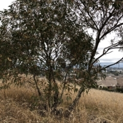 Eucalyptus leucoxylon (Yellow Gum) at Hughes, ACT - 23 Jun 2021 by ruthkerruish