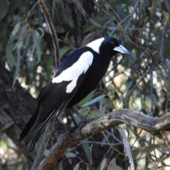 Gymnorhina tibicen (Australian Magpie) at Acton, ACT - 27 Jun 2021 by MatthewFrawley