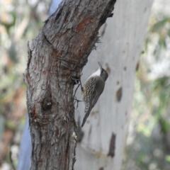 Cormobates leucophaea (White-throated Treecreeper) at Acton, ACT - 27 Jun 2021 by MatthewFrawley