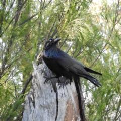 Corvus coronoides (Australian Raven) at Acton, ACT - 27 Jun 2021 by MatthewFrawley