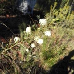 Acacia genistifolia (Early Wattle) at Acton, ACT - 27 Jun 2021 by MatthewFrawley