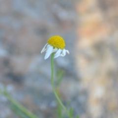 Matricaria chamomilla (Chamomile Daisy) at Wamboin, NSW - 1 Feb 2021 by natureguy