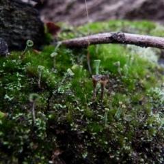 Cladonia sp. (A Lichen) at Boro, NSW - 27 Jun 2021 by Paul4K