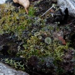 Cladia aggregata (A lichen) at Boro, NSW - 27 Jun 2021 by Paul4K