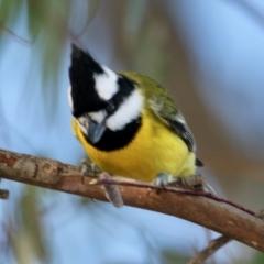 Falcunculus frontatus (Crested Shrike-Tit) at Splitters Creek, NSW - 29 Jun 2021 by PaulF
