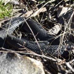 Pseudechis porphyriacus (Red-bellied Black Snake) at Fyshwick, ACT - 29 Jun 2021 by davidcunninghamwildlife