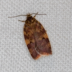 Unidentified Moth (Lepidoptera) (TBC) at Melba, ACT - 9 Dec 2018 by Bron