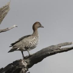Chenonetta jubata (Australian Wood Duck) at Hawker, ACT - 29 Jun 2021 by AlisonMilton