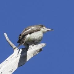 Cracticus torquatus (Grey Butcherbird) at Hawker, ACT - 29 Jun 2021 by AlisonMilton