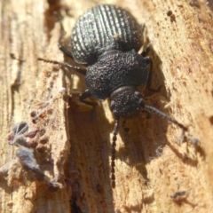 Adelium porcatum (Darkling Beetle) at Yass River, NSW - 28 Jun 2021 by SenexRugosus