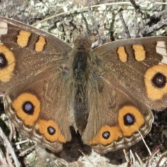 Junonia villida (Meadow Argus) at Tuggeranong DC, ACT - 29 Jun 2021 by RobParnell