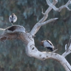 Chenonetta jubata (Australian Wood Duck) at Symonston, ACT - 29 Jun 2021 by RodDeb