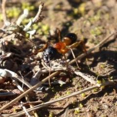 Camponotus consobrinus (Banded sugar ant) at Symonston, ACT - 29 Jun 2021 by RodDeb