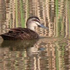 Anas superciliosa (Pacific Black Duck) at Jerrabomberra, ACT - 29 Jun 2021 by RodDeb