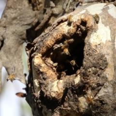 Apis mellifera (European honey bee) at Symonston, ACT - 29 Jun 2021 by RodDeb