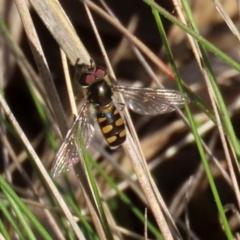 Melangyna viridiceps (Hover fly) at Symonston, ACT - 29 Jun 2021 by RodDeb