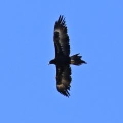 Aquila audax (Wedge-tailed Eagle) at Symonston, ACT - 29 Jun 2021 by RodDeb