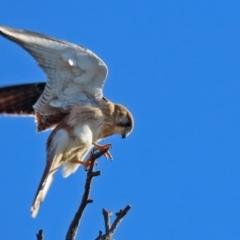 Falco cenchroides (Nankeen Kestrel) at Symonston, ACT - 29 Jun 2021 by RodDeb