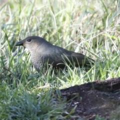 Ptilonorhynchus violaceus (Satin Bowerbird) at Hawker, ACT - 29 Jun 2021 by AlisonMilton