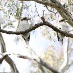 Dacelo novaeguineae (Laughing Kookaburra) at Hawker, ACT - 29 Jun 2021 by AlisonMilton