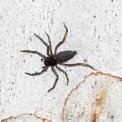 Gnaphosidae or Trochanteriidae (families) (Flat spider) at Hawker, ACT - 29 Jun 2021 by AlisonMilton