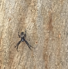 Araneinae (subfamily) (Orb weaver) at Yarrow, NSW - 14 Jun 2021 by Tapirlord