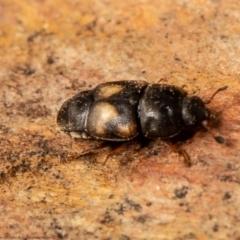Carpophilus hemipterus (Dried-fruit beetle) at Macgregor, ACT - 30 Jun 2021 by Roger