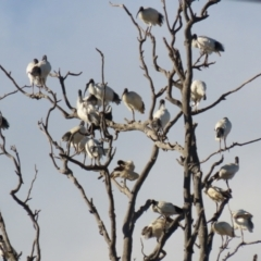 Threskiornis molucca (Australian White Ibis) at Hume, ACT - 29 Jun 2021 by RodDeb