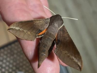 Hippotion scrofa (Coprosma Hawk Moth) at Tathra, NSW - 24 Jan 2021 by jksmits