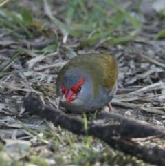 Neochmia temporalis (Red-browed Finch) at Splitters Creek, NSW - 29 Jun 2021 by PaulF
