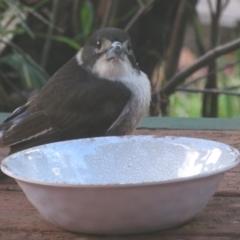 Cracticus torquatus (Grey Butcherbird) at Flynn, ACT - 30 Jun 2021 by Christine
