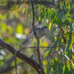 Colluricincla harmonica (Grey Shrikethrush) at Palerang, NSW - 26 Jun 2021 by trevsci