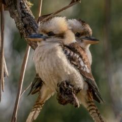 Dacelo novaeguineae (Laughing Kookaburra) at Forbes Creek, NSW - 26 Jun 2021 by trevsci