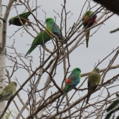 Psephotus haematonotus (Red-rumped Parrot) at Jerrabomberra, NSW - 1 Jul 2021 by RodDeb