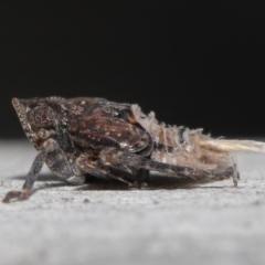 Platybrachys sp. (genus) (TBC) at Acton, ACT - 29 Jun 2021 by TimL