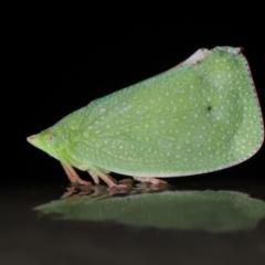 Siphanta acuta (Green planthopper, Torpedo bug) at Acton, ACT - 4 May 2021 by TimL