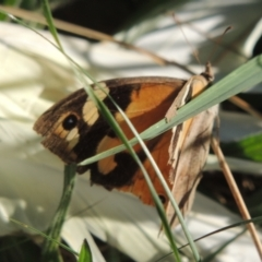 Heteronympha merope (Common Brown) at Isabella Plains, ACT - 4 Apr 2021 by michaelb
