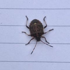 Oncocoris sp. (genus) (TBC) at Aranda, ACT - 29 Jun 2021 by KMcCue